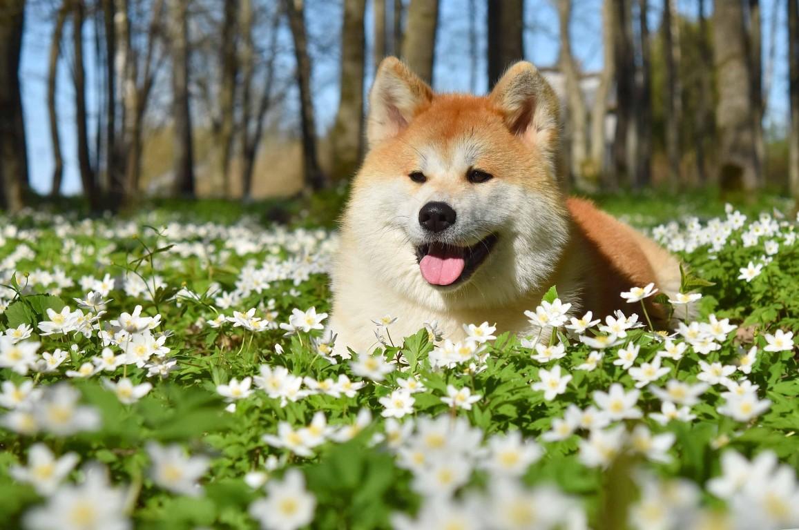 Akita Inu chien japonais par excellence