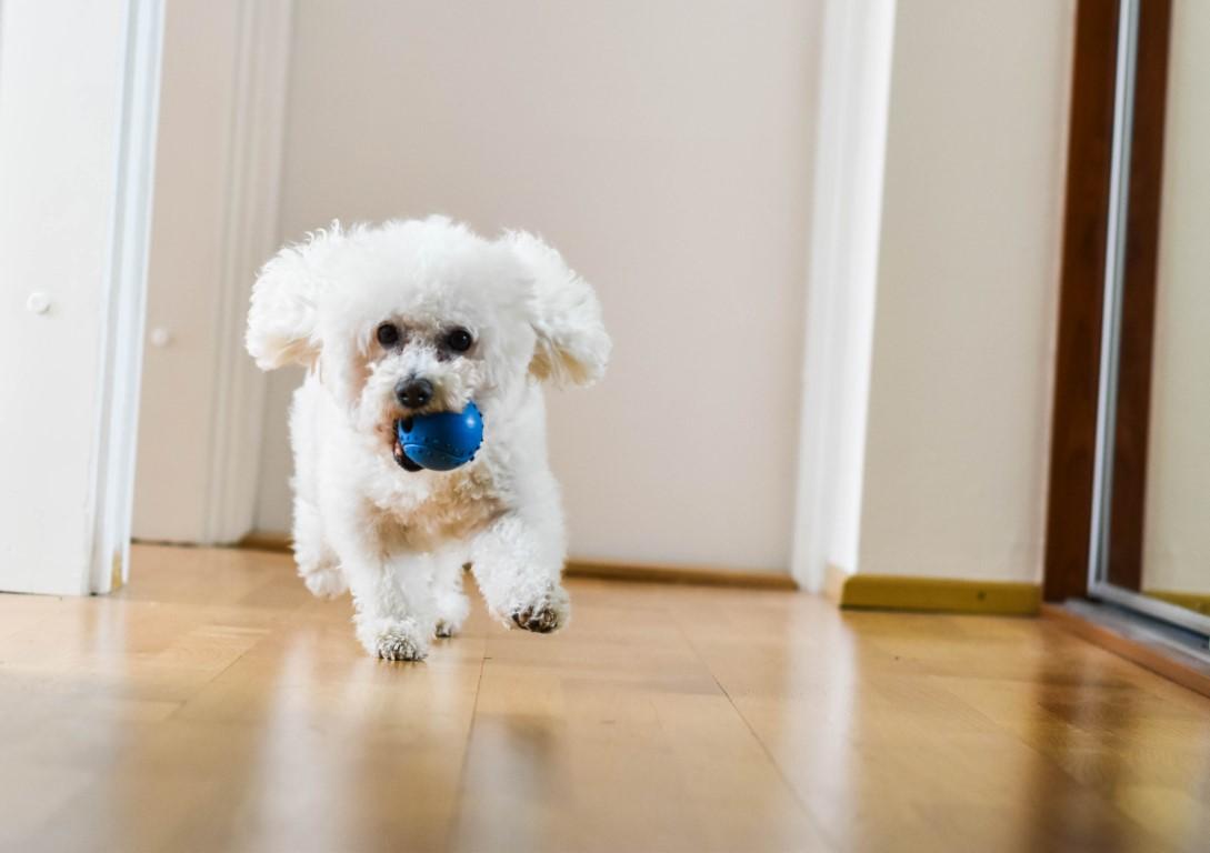 Le bichon, un chien d'appartement idéal