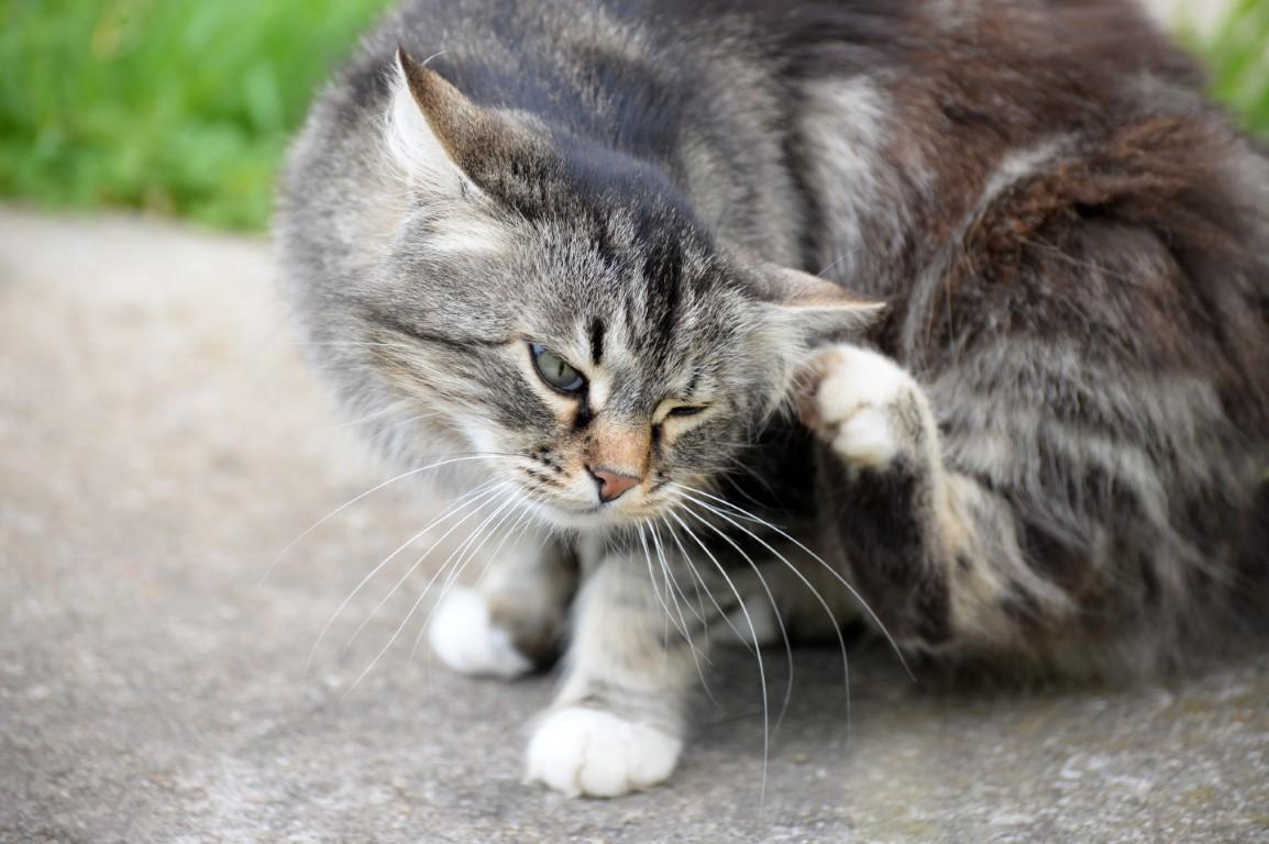 anti-puces naturels pour chat