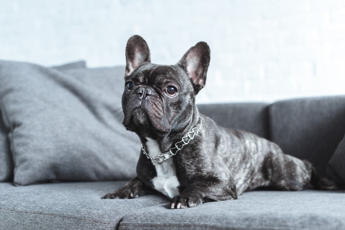 bouledogue français chien d'interieur