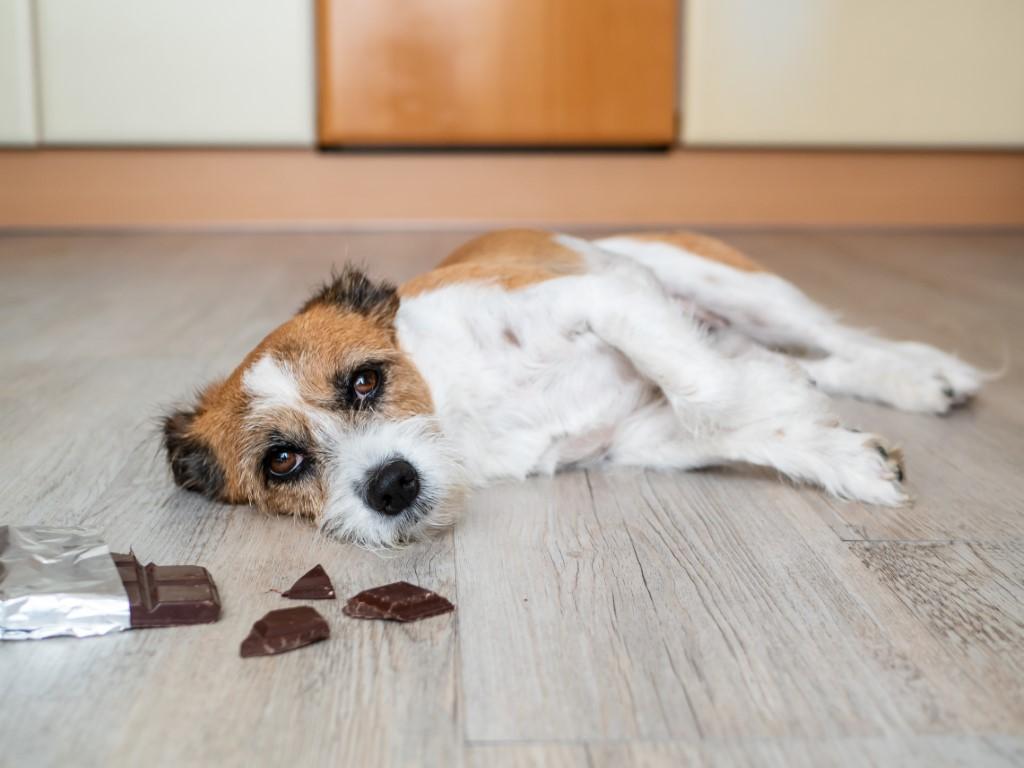 chien a mangé du chocolat
