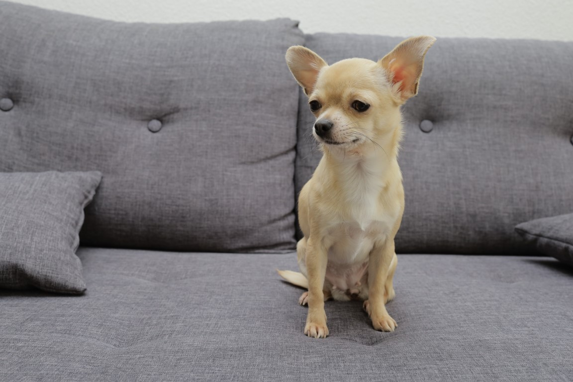 chihuahua chien d'appartement