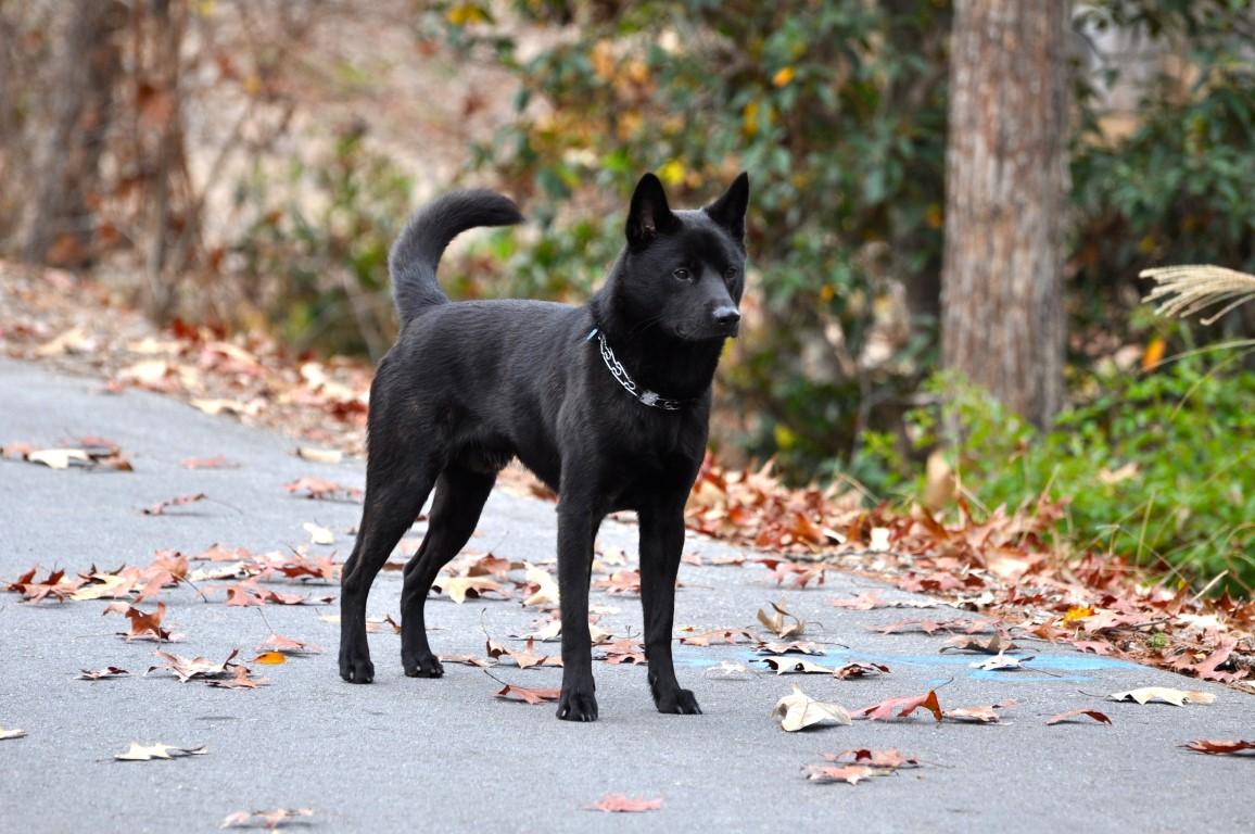 kai chien d'origine japonaise