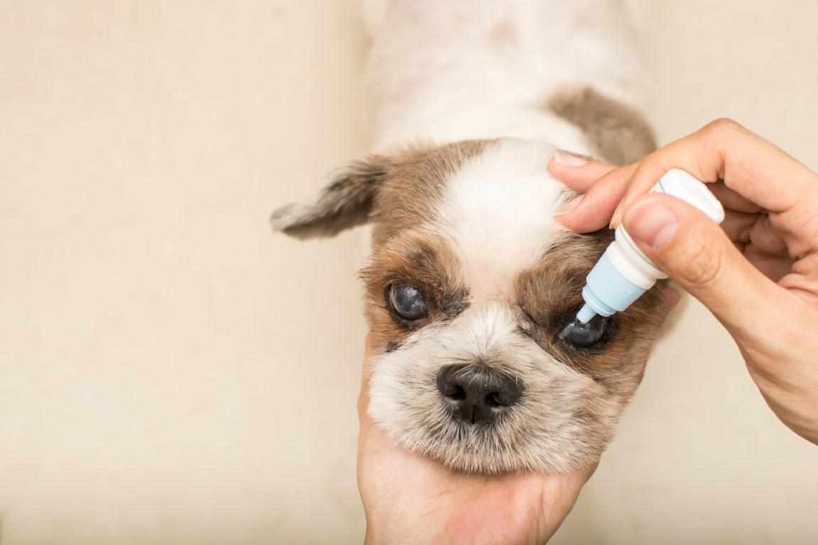 nettoyer les yeux d'un chien